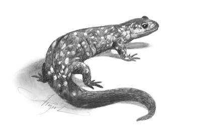 Hybrid salamanders