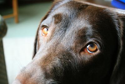 Scientists think they know why dogs have eyes that tug at our hearts