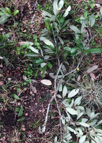 Live oak twig damage