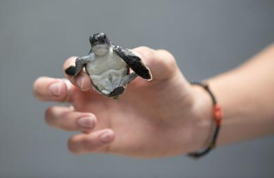 Beaches are becoming safer for baby sea turtles, but threats await them in the ocean