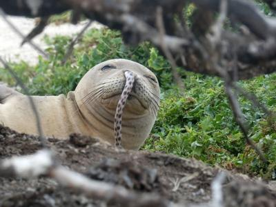 'Make better choices': Endangered Hawaiian monk seals keep getting eels stuck up their noses and scientists want them to stop