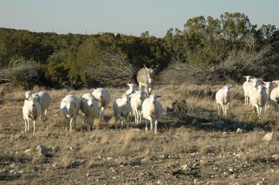 Demand for sheep, goats remains high     wacotrib com