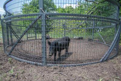 State ups its game against feral hogs with pilot program (copy)
