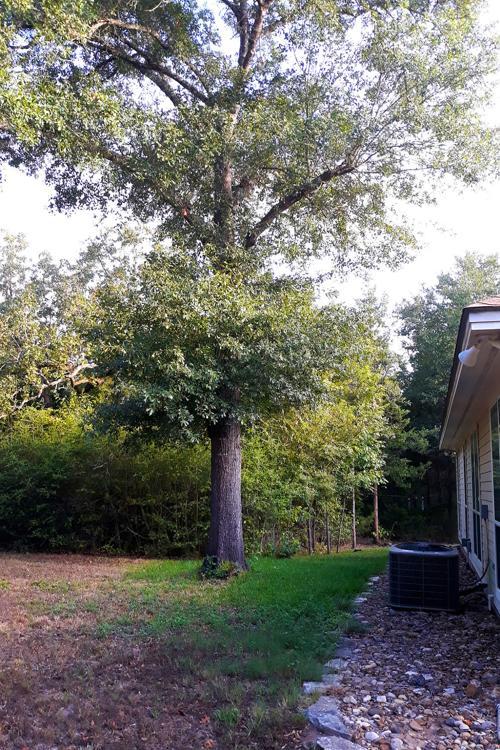 Poor oak pruning