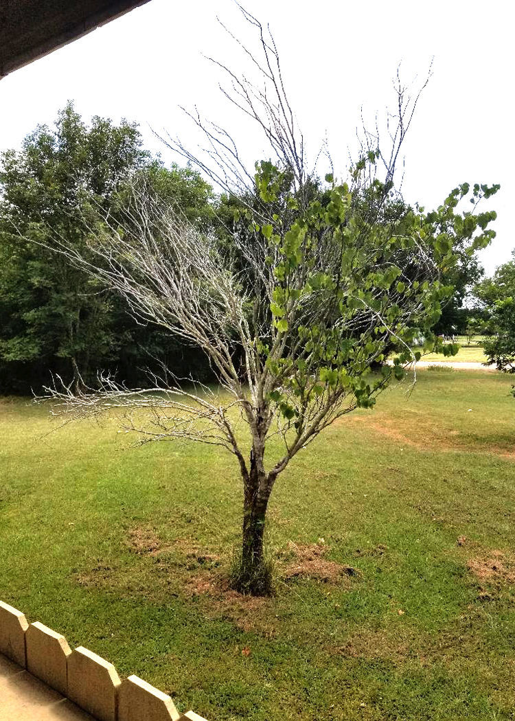 Neil Sperry Redbud Tree Showing Signs Of Dying Local News