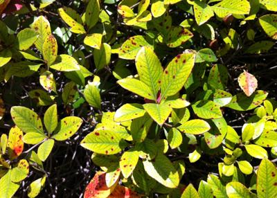 Indian hawthorn leaves
