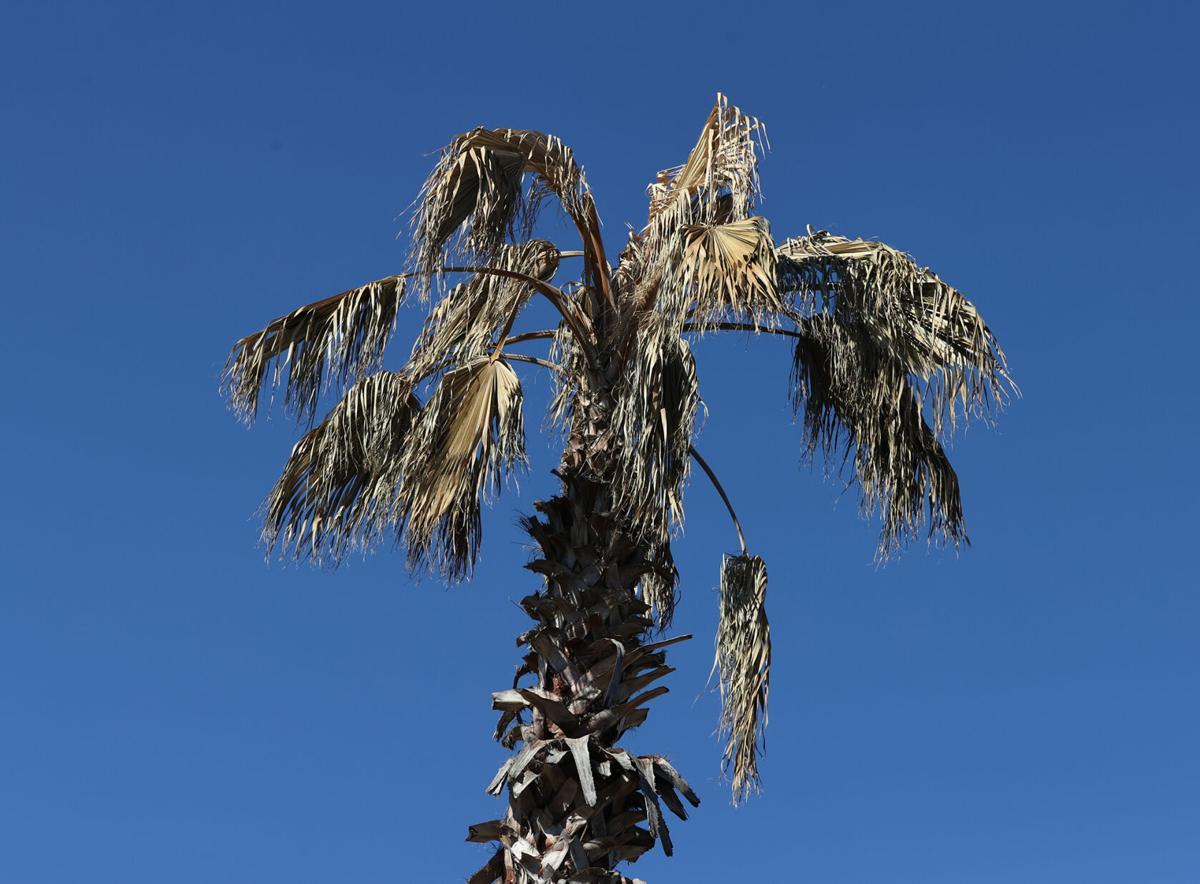 Dead Plants - palms