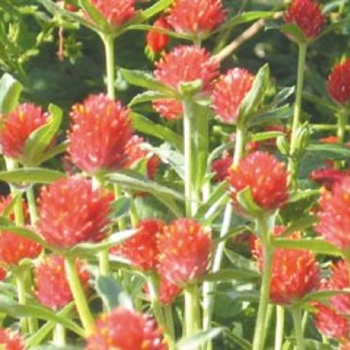 Some Like It Hot Easy To Grow Heat Resistant Plants For Central