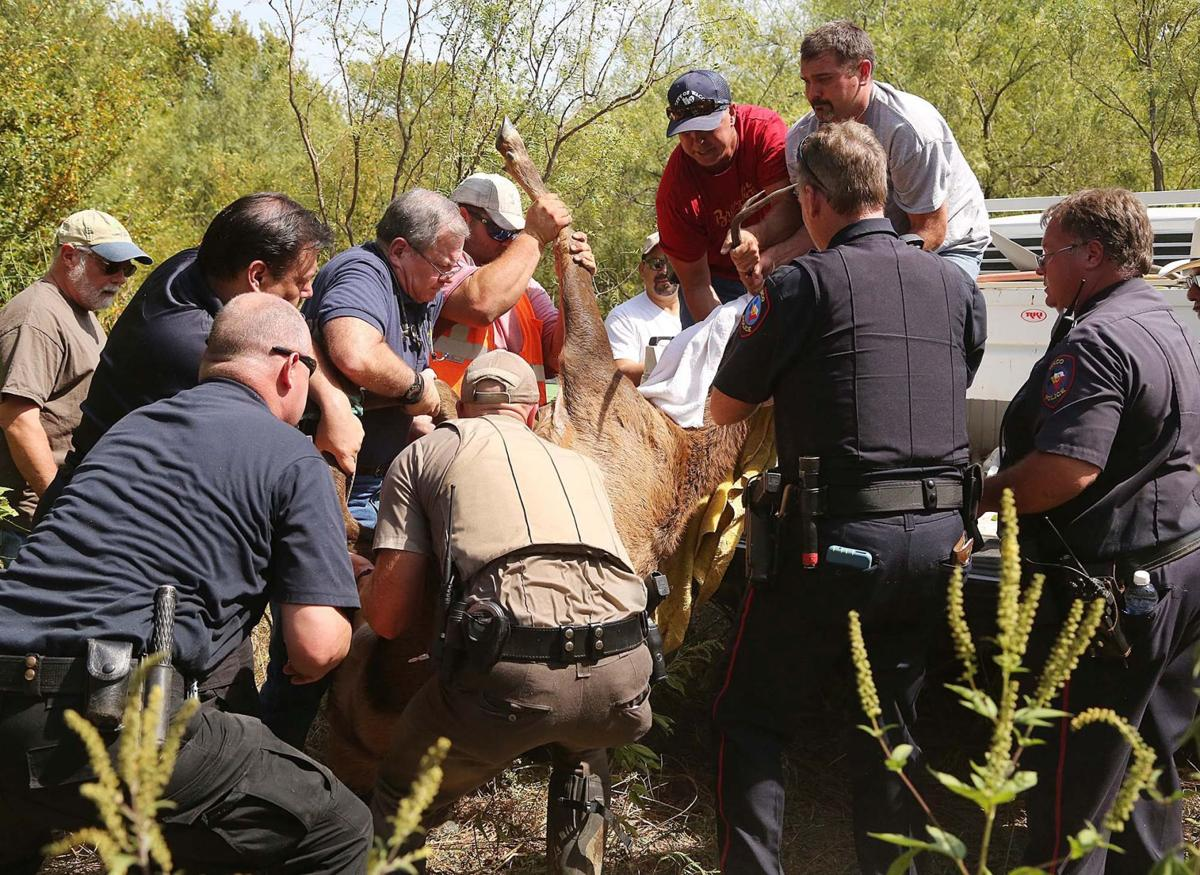 Elk nabbed near downtown Waco after 7-hour chase | Local