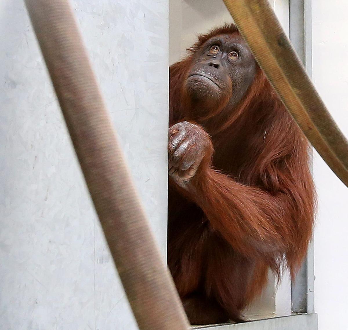 Cameron Park Zoo welcomes new companion for orangutan raised