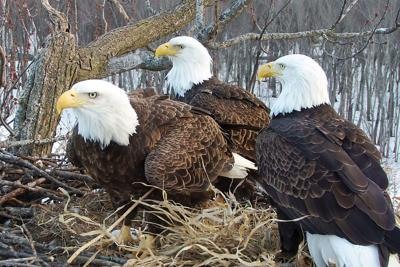 A rare trio of bald eagles - two dads, one mom - are raising eaglets together in one nest