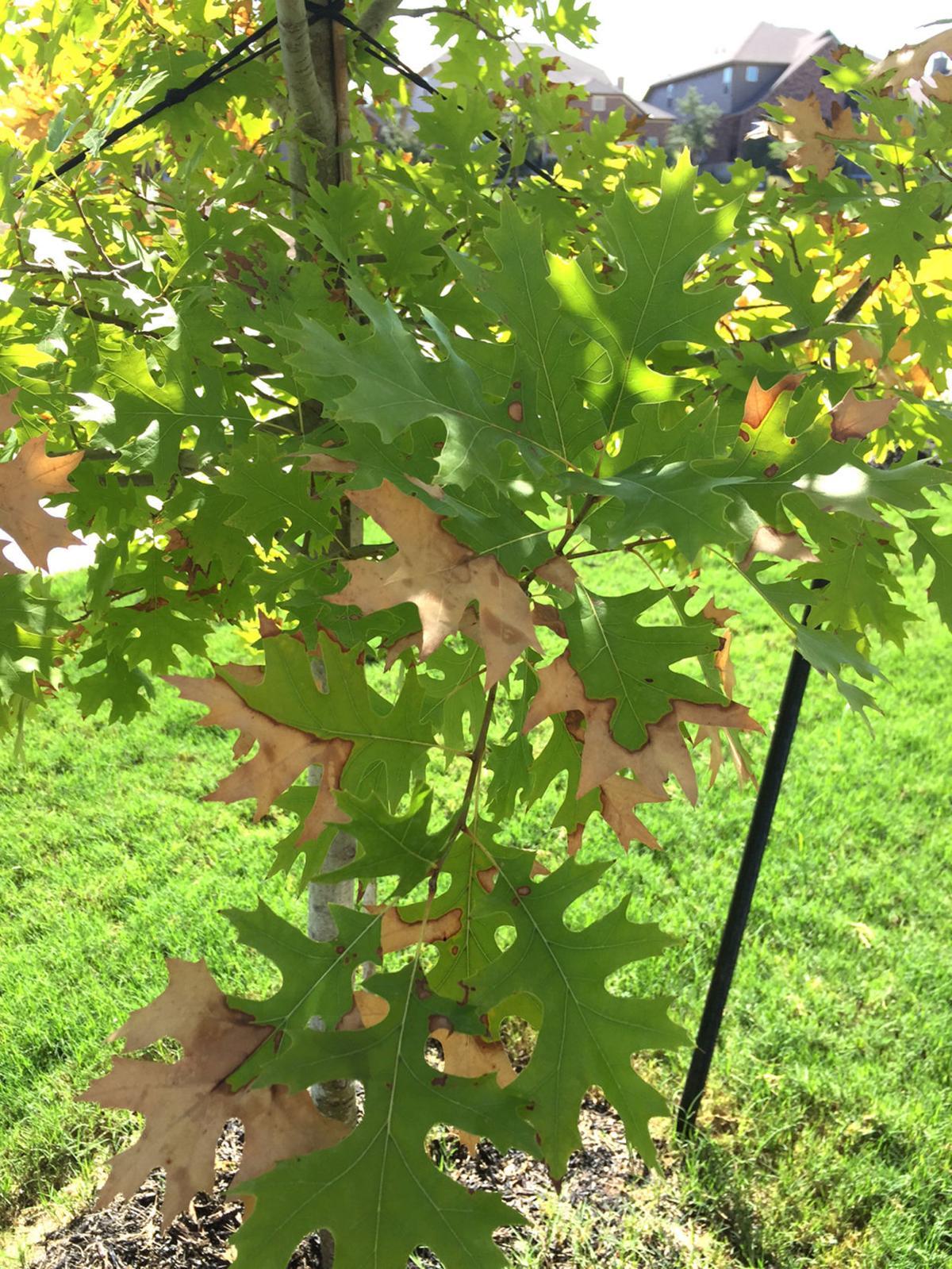 Red oak leaf burn