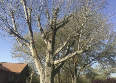 Red oak damage
