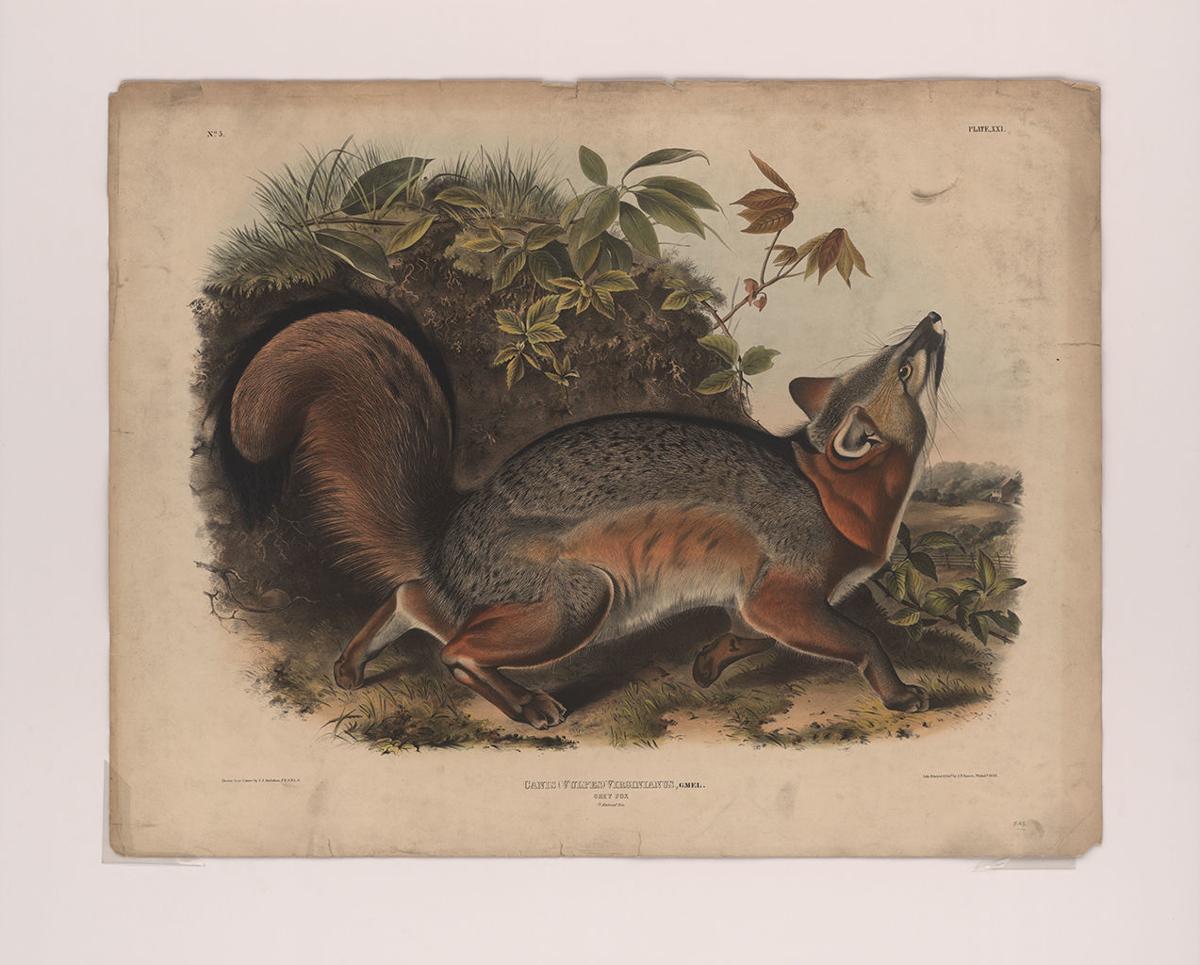 Audubon - animal