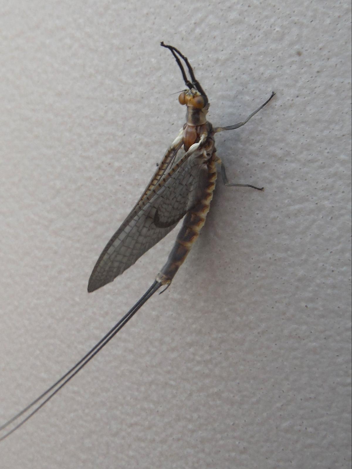 mayfly1