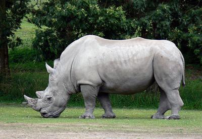 Rhinos are coming | Local News Stories | wahpetondailynews com