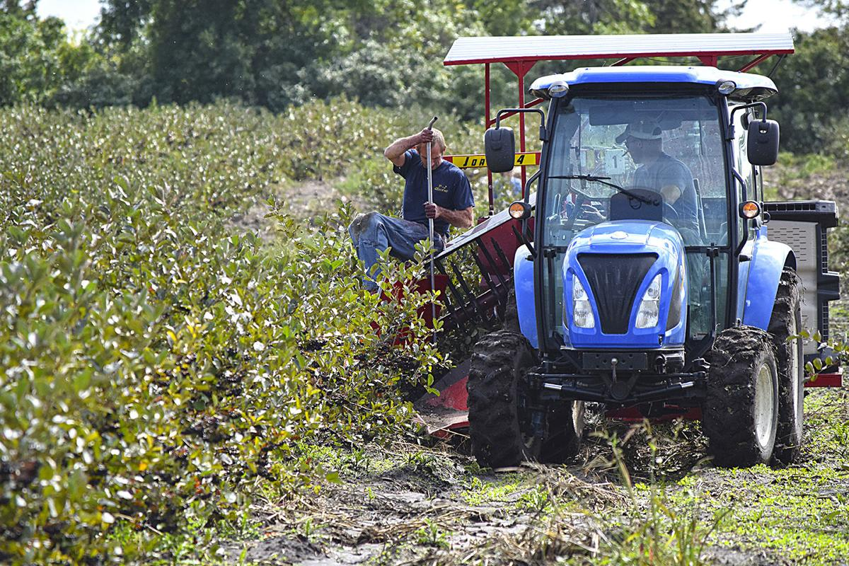 It's aronia berry picking time