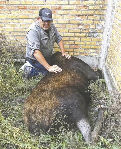 Chahinkapa Zoo staff, Dr. Matz assist in UND moose relocation