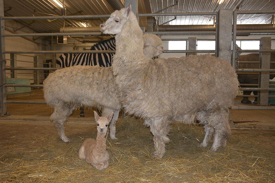E.J., newborn alpaca, already a world traveler