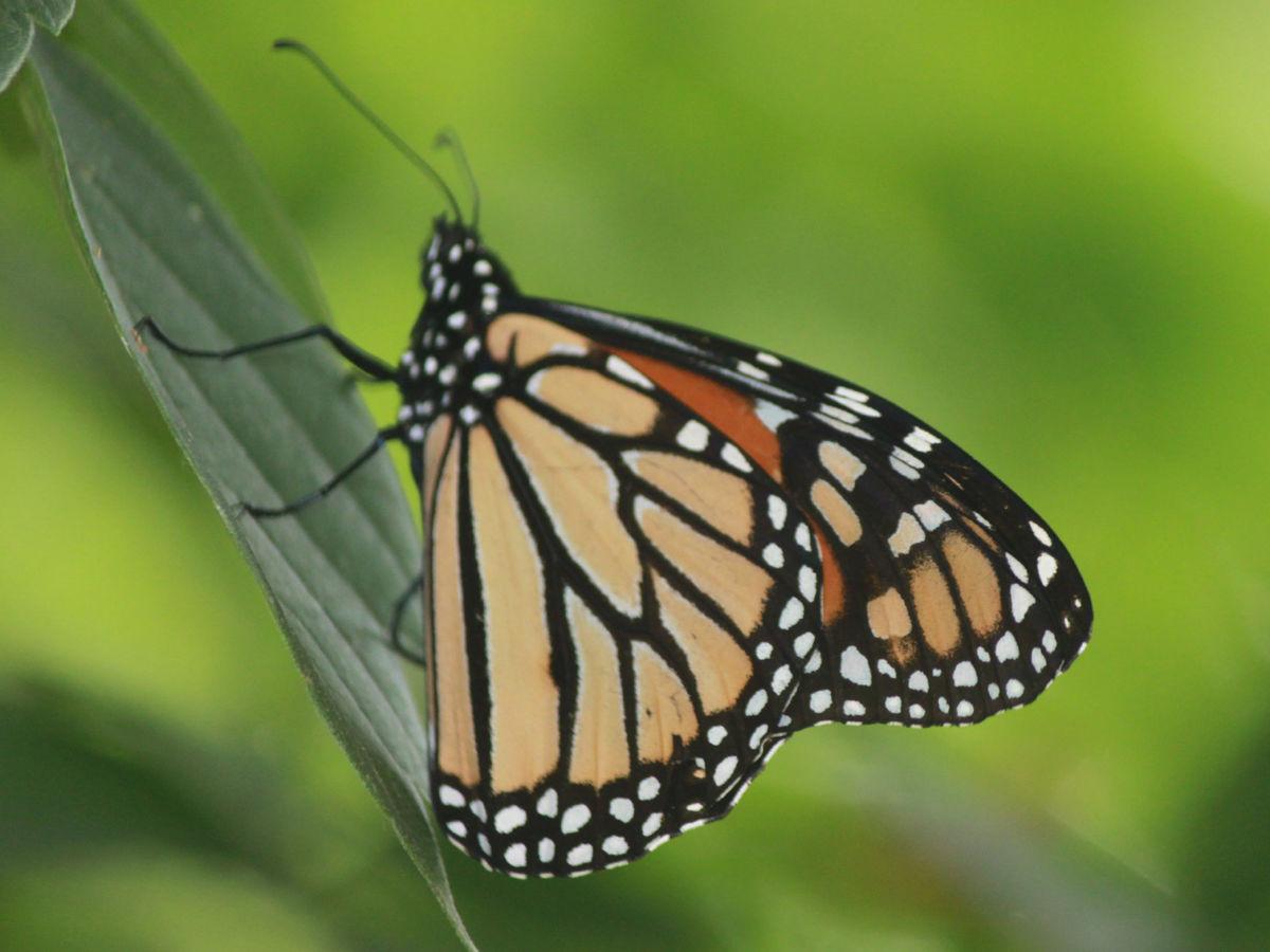 Milking it for monarchs