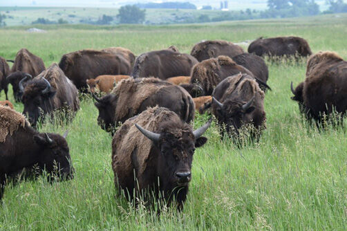 bison mixed ages