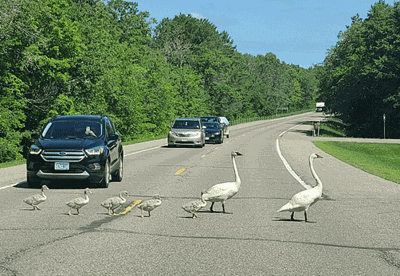 This family of trumpeter swaqns was spotted crossing Highway 371 just north of Hackensack on July 26.