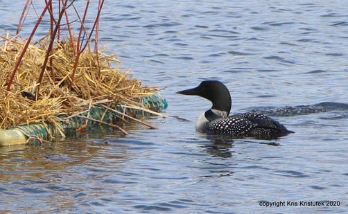 loon cam-1