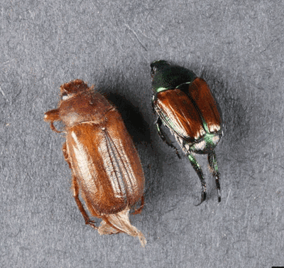 The adult European chafer (left) next to Japanese beetle adult.