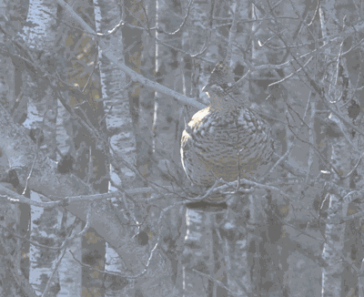 A ruffed grouse in a tree.