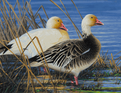 The 2020 Minnesota Migratory Waterfowl Stamp with a pair of snow geese was painted by Michael Sieve.
