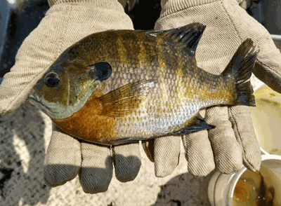 Spawning sunfish are particularly prone to over harvest because they are very aggressive while defending a nest.