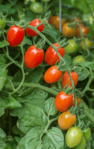 All-America Selections winner Celano tomato is a semi-determinate hybrid tomato that produces sweet oblong fruits.