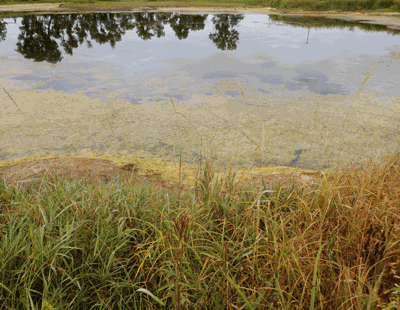 Algae, a phosphorus byproduct.