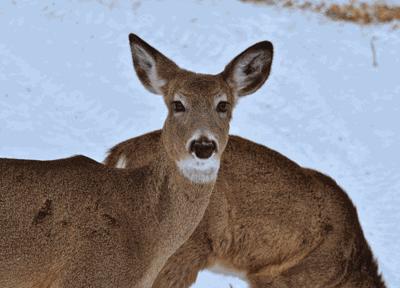 Keeping the deer herd healthy
