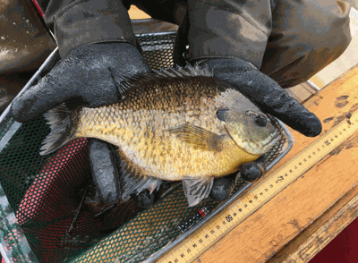Anglers can help protect big sunfish by releasing or limiting their harvest, which are considered about eight inches or bigger.