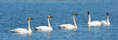 Nature photographer Steve DeKoster captured these young trumpeter swans on Benedict Lake.