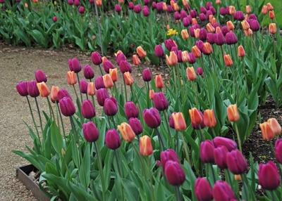 Providing proper care to tulips and other spring flowering bulbs will extend your enjoyment and keep them coming back for years