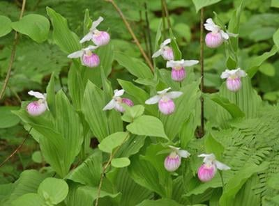 The showy lady's slipper, the state flower, is in bloom across the region.