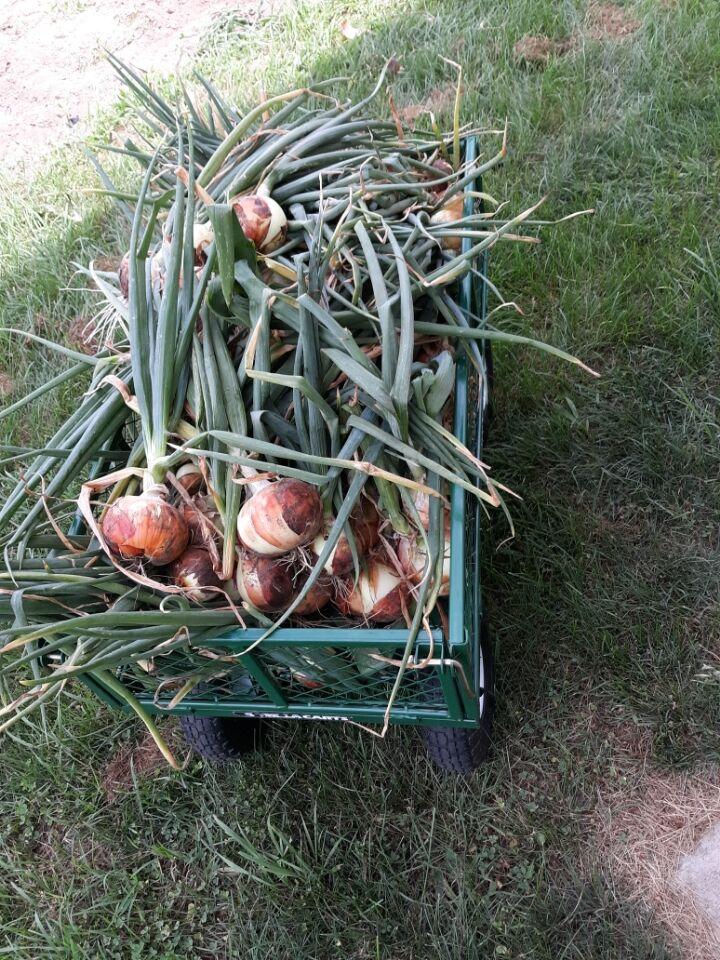 onions 1