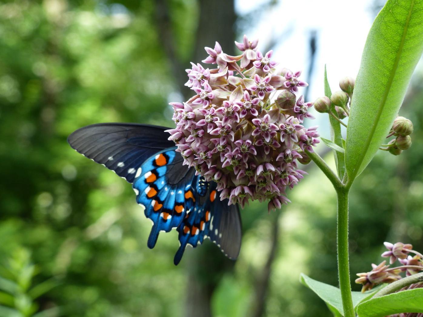 PHOTO milkweed.JPG
