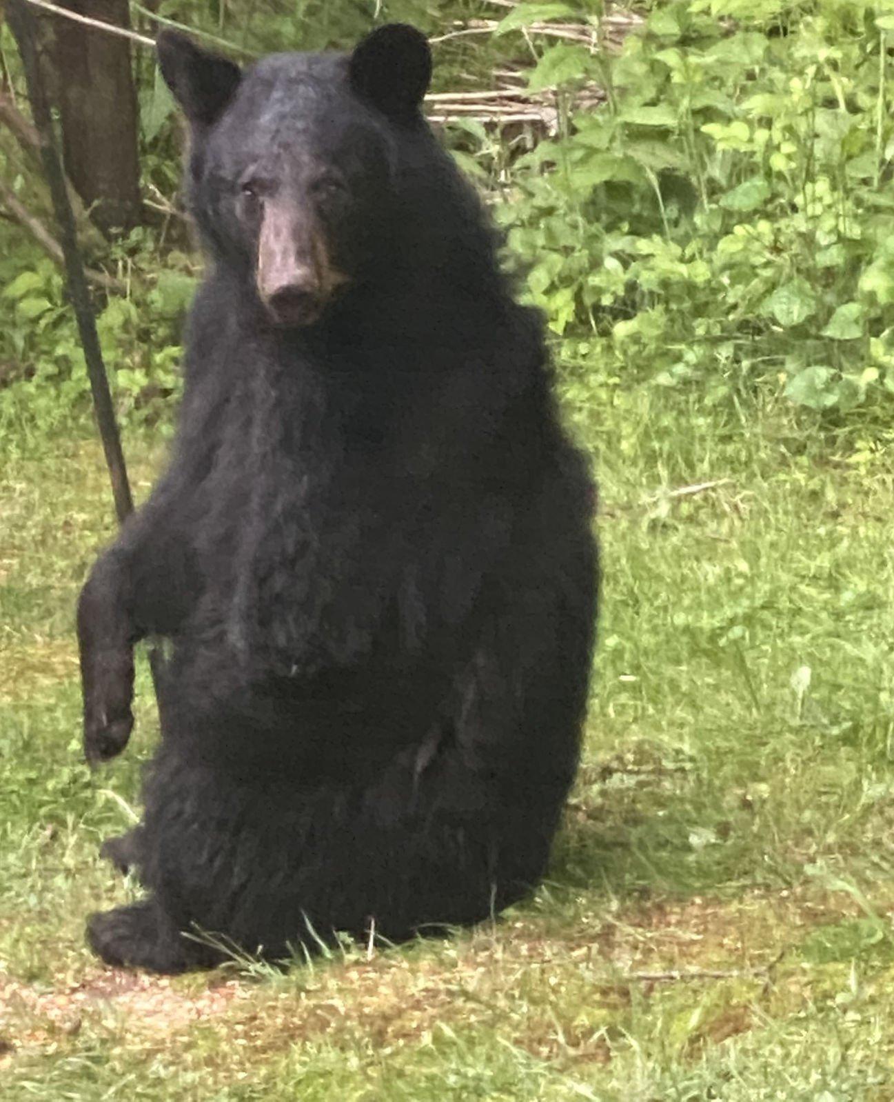 Three-legged bear in Lansing, NC
