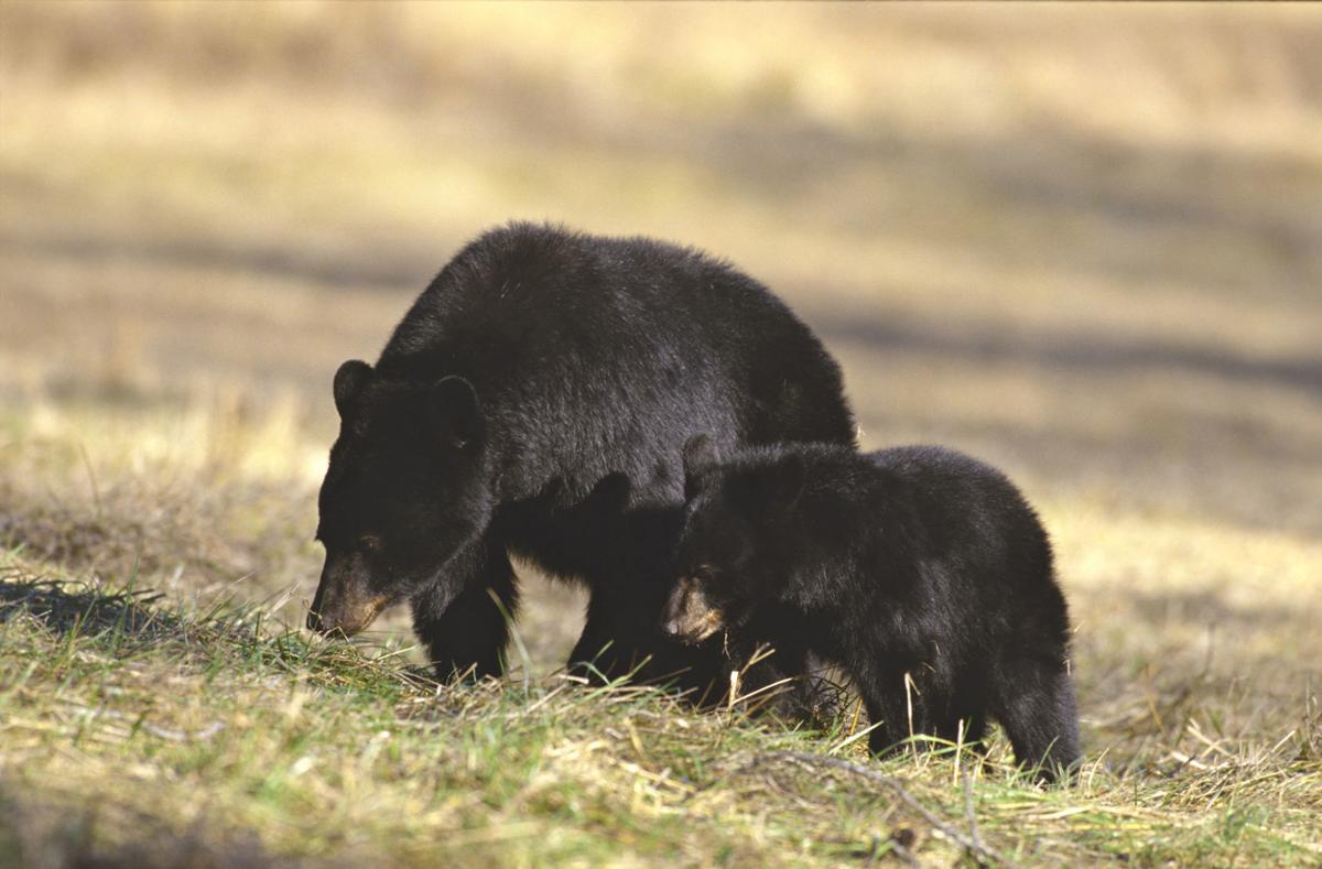 Bear sow and cub