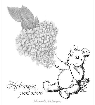 The Teddy bear hydrangea