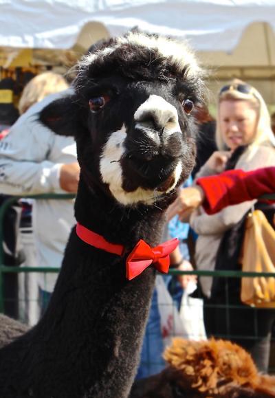 Alpaca at Valle Country Fair