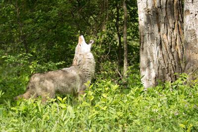 Coyote pup season