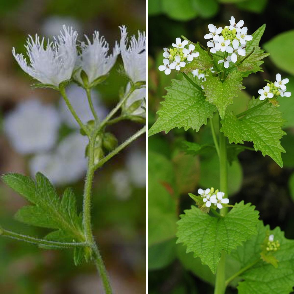 Dear naturalist the good and the bad mountain times white flowers white flowers these photographs contain two very different plants the plant on the left is the gorgeous fringed phacelia a native of the mightylinksfo