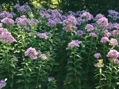 Phlox paniculata 'John Franick' prospers in Kit's garden