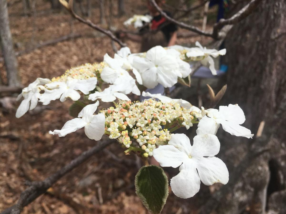 Dear naturalist white flowers mountain times wataugademocrat the blooming white flowers of dogwood witch hobble and serviceberry means that spring has arrived mightylinksfo