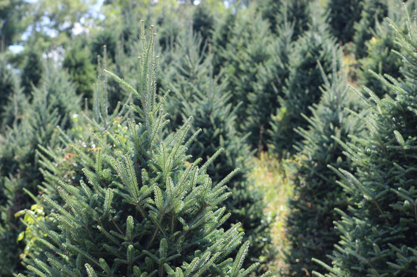 Christmas Trees 2021 Watauga Democrat It S Fraser Season Choose And Cut Farms Ready To Sell Christmas Trees News Wataugademocrat Com