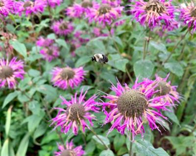 Deadhead Monarda (Bee balm) after it blooms to keep things looking neat.